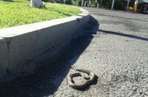 Змеи атакуют Тараз