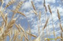 Государство закупит у фермеров 2 млн. тонн пшеницы