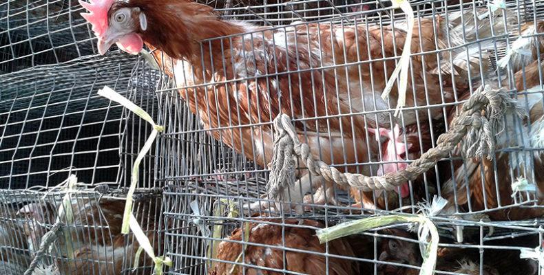 Жамбылская птицефабрика начала экспорт продукции