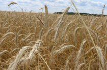 Ученые назвали причину низкой урожайности на казахстанских полях