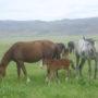 Жамбылские полицейские раскрыли хищение 23 голов лошадей