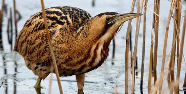 Краснокнижную птицу выпь обнаружили в гостинице Тараза