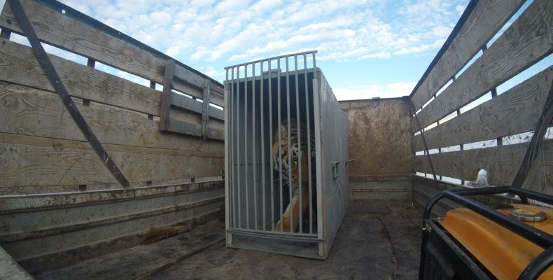 Как на трассе в Жамбылской области спасали тигра