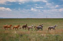 Тайна 33 пропавших жамбылских лошадей