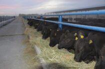 Вот корова! Зачем жамбылские чиновники рекламируют частное хозяйство
