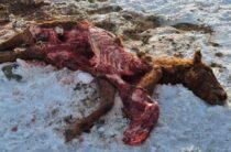 Волки снова атакуют домашний скот в Жамбылской области
