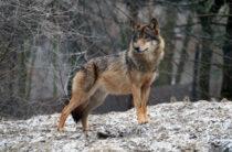 ВОЙ СРЕДИ ЧУЖИХ — как волки досаждают сельчанам
