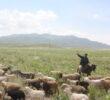 На 30 тысяч тенге могут оштрафовать нарушителей правил выпаса сельскохозяйственных животных