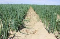 Более половины луковичных полей Жамбылской области приходится на Шуский район