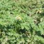 Водосбережение, несмотря на засуху, позволило жамбылским крестьянам вырастить хороший урожай картофеля