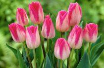 «Атамекен» предложил сделать фестиваль тюльпанов международным