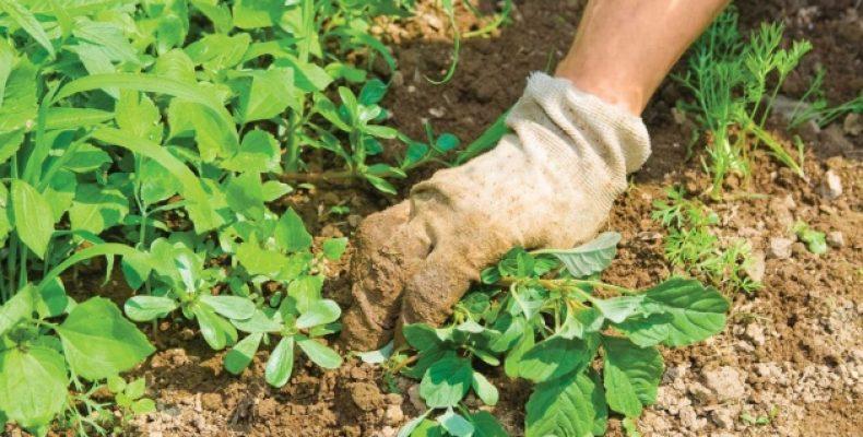 Новый метод борьбы с сорной травой придумал таразский студент