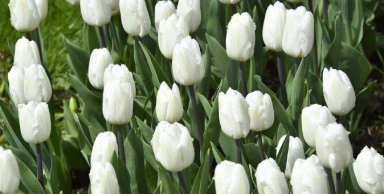Жамбылцев приглашают на праздник тюльпанов