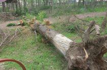 Вырубками деревьев в Таразе возмущены горожане, или Чиновникам жара не страшна