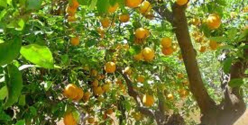 В Жамбылской области сажают лимоны
