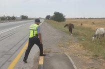Жамбылские полицейские принимают профилактические меры по выпасу скота без присмотра