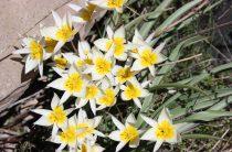 Жамбылская область родина тюльпанов: оставьте эти цветы потомкам