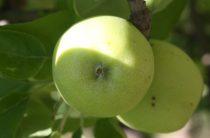 Золотые яблочки: в Жамбылской области развивают интенсивное садоводство