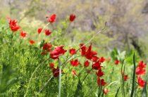 Тюльпанам посвятят праздник в Таразе