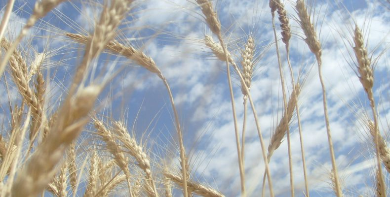 Хлебная страда: Третью часть зерна Жамбылской области намолотили в Рыскуловском районе